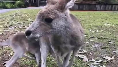 Kangaroo Hops Hopping Bouncy Eye Takes Mother