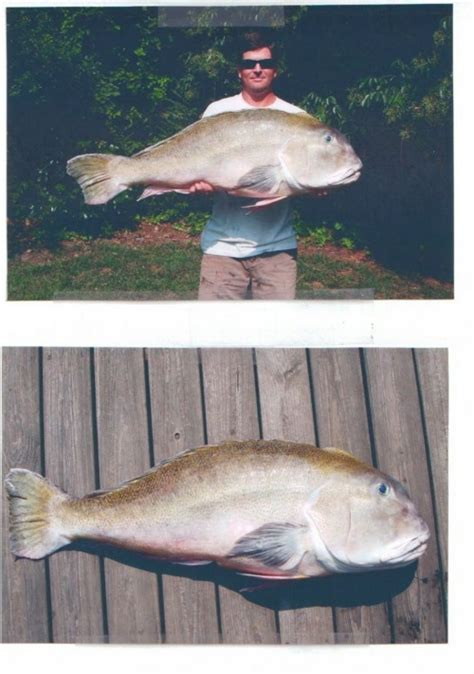 Golden Tile Fishing Rigs by Virginia Saltwater Fishing Tournament State Record Landed