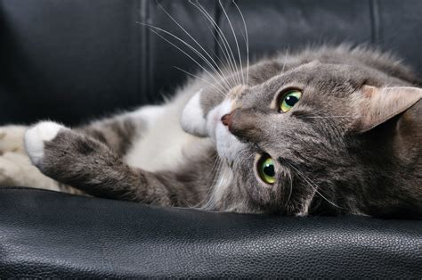 dietary reactions  cats petmd