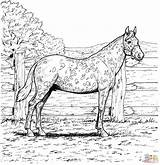 Horse Coloring Pages Palomino sketch template