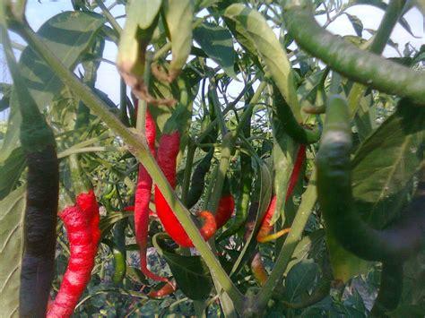 menanam cabe merah cepat berbuah tips