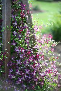 Best 25+ Clematis paniculata ideas on Pinterest | Sweet ...