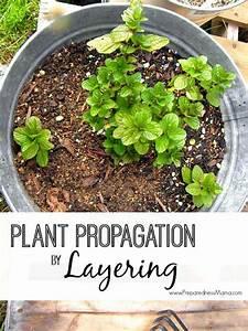 Plant Propagation By Layering