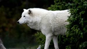 Wolves as Pets | Fun Animals Wiki, Videos, Pictures, Stories