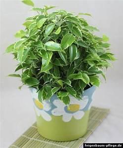 Ficus Bonsai Schneiden : ficus benjamina benjamini birkenfeige ~ Indierocktalk.com Haus und Dekorationen
