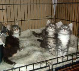 maine coon cat breeders maine coon kittens for blyth northumberland