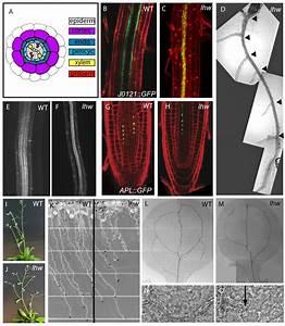 Regulation Of The Arabidopsis Root Vascular Initial