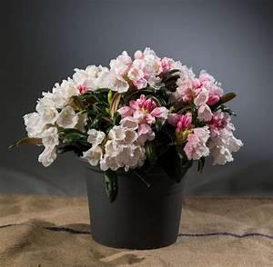 Kleinwüchsige Immergrüne Hecke : rhododendron koichiro wada select rhododendron ~ Lizthompson.info Haus und Dekorationen