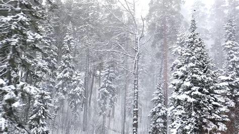 fir trees  winter blizzard sun sun   mist stock