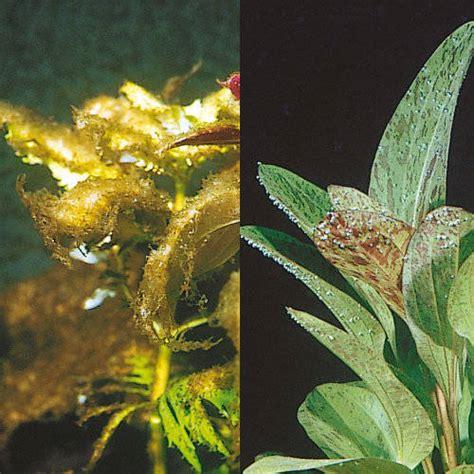 eliminer algues vertes aquarium 28 images algues vertes mousseuses filamenteuses les algues