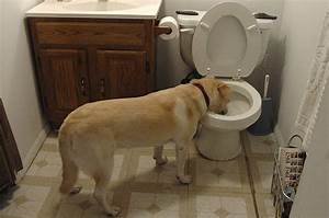 How to stop your dog drinking from the toilet for Can you train a cat to go outside for bathroom