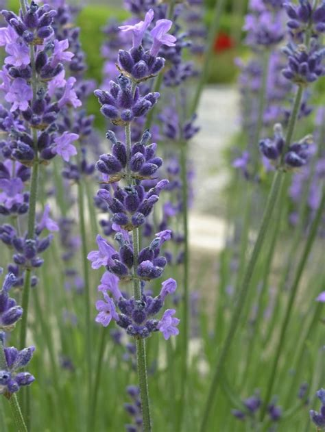 lavender plant best 25 lavender plants ideas on pinterest growing lavender planting lavender outdoors and