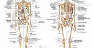 P0081 Skeletal Anatomy System Anatomical Chart Muscular 24x30 U0026quot  Poster Cloth