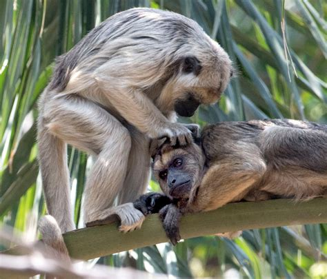 zoo monkey ana santa loss monkeys howler habitats accreditation outdated orange exhibit appealed officials exhibits lead ocregister