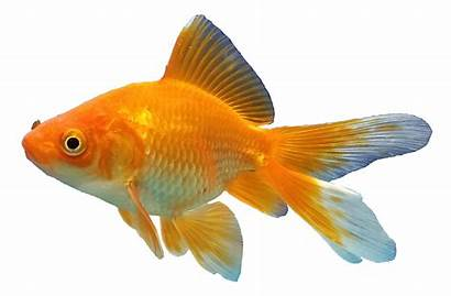 Fish Transparent Goldfish Aquarium Clipart Koi Fishes