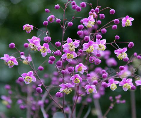 meadow rue thalictrum rochebrunianum buy online at annie s annuals
