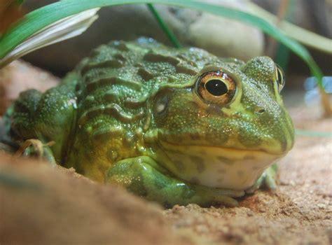 frog shedding behavior bullfrog