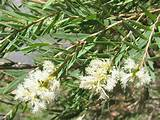 About Tea Tree Oil Images