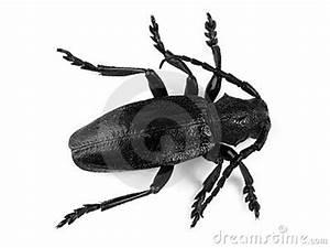 Großer Schwarzer Käfer Bilder : gro er schwarzer k fer auf wei lizenzfreie stockfotos bild 2560828 ~ Frokenaadalensverden.com Haus und Dekorationen