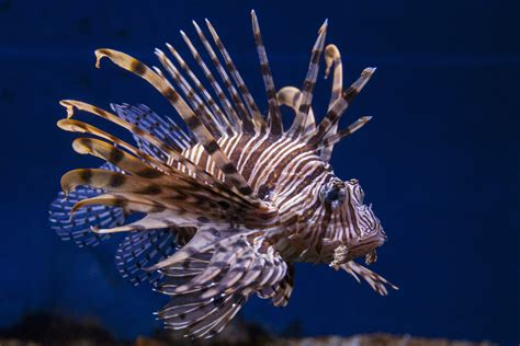 lionfish volitan coast aquarium carolina south exhibit fish saltwater sml
