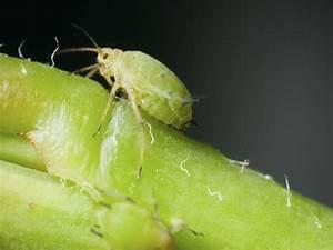 Garten Schädlinge Bekämpfen : blattl use bek mpfen hilft ihnen dabei das ~ Michelbontemps.com Haus und Dekorationen
