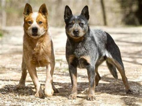 list  smartest dog breeds  pets central