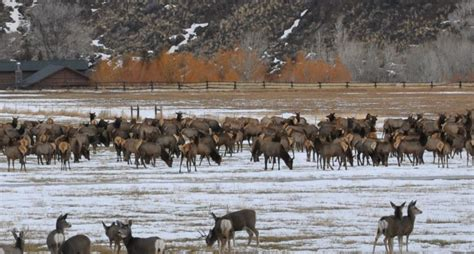 drone user ticketed  causing  elk stampede
