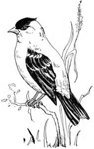 american goldfinch coloring page  printable coloring pages