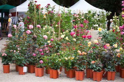 Cómo Plantar Un Rosal