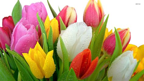 Wallpaper Of Tulip by Tulip Flowers Wallpapers 183 Wallpapertag