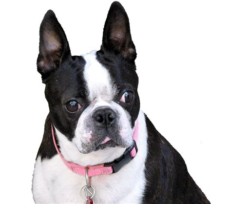 boston terrier wallpapers backgrounds