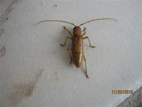 brown beetle  black spots