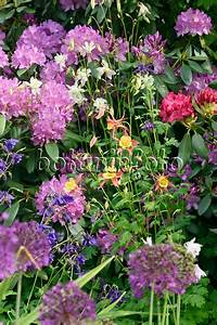 Allium Pflanzen Im Frühjahr : bild rhododendren rhododendron und zierlauch allium 544103 bilder und videos von ~ Yasmunasinghe.com Haus und Dekorationen