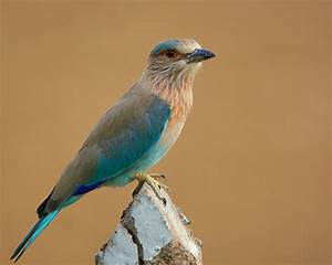 Indian birds pictures with information