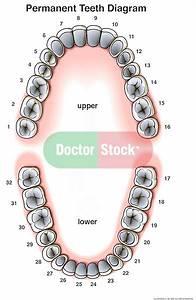 Permanent  Adult  Teeth Diagram