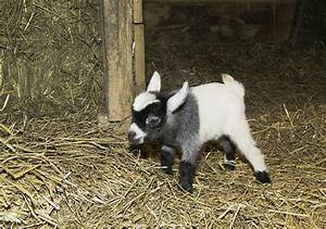 Goat's Milk and It's Cheesy Story: Part II – Why'd You Eat ...