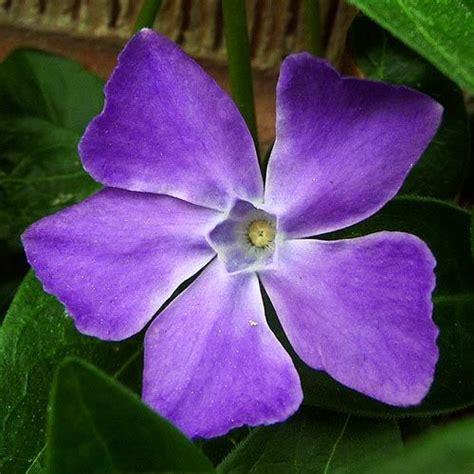 vine plant with purple flowers purple flower vine gardengeek pictures