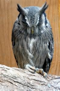 White-faced Owl at Small Breeds Farm and... © Christine ...