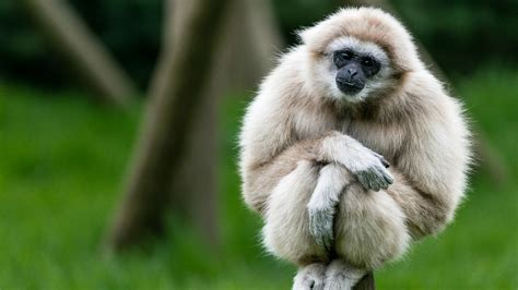 Animal Wallpaper Hd For Desktop - gibbons animals apes wallpapers hd desktop and mobile