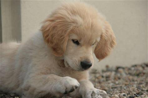 Pup Aanschaffen Golden Retriever Vereniging