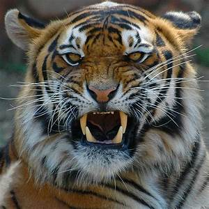 Terrific Pictures of Roaring Tigers