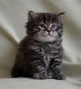 hypoallergenic cat siberian cat siberian cats siberian kitten siberian