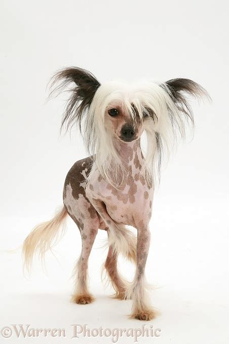 Dog Chinese Crested P O Wp