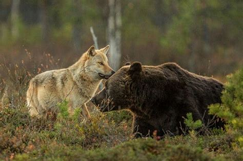 Wolf and Bear Friends