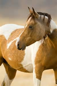 Wild Mustang Horses Pinto