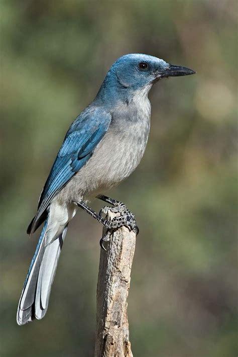 mexican jay aphelocoma ultramarina bird