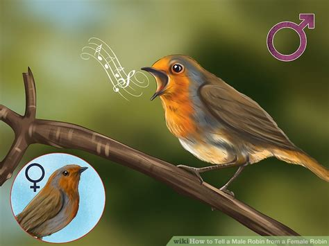 what color is a robin 3 ways to tell a robin from a robin wikihow