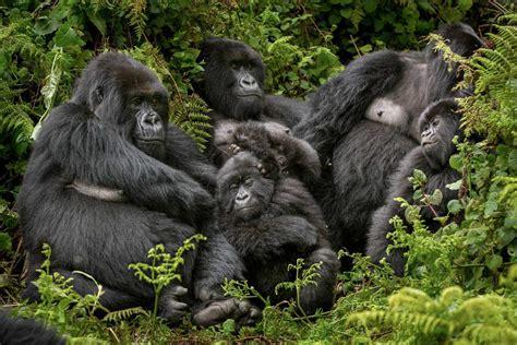 gorillas   mist classic peaks  africa