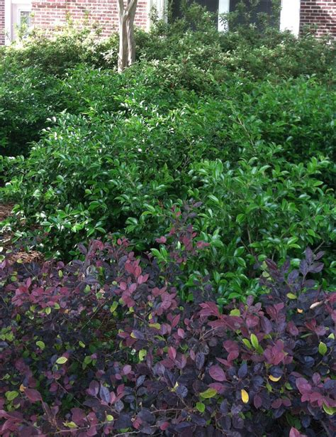 types of shrubs landscaping with texture and color university of mississippi