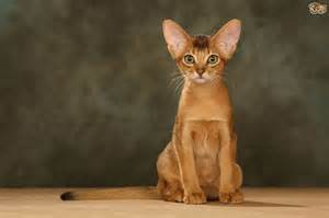 abyssinian cat abyssinian cat breed information buying advice photos